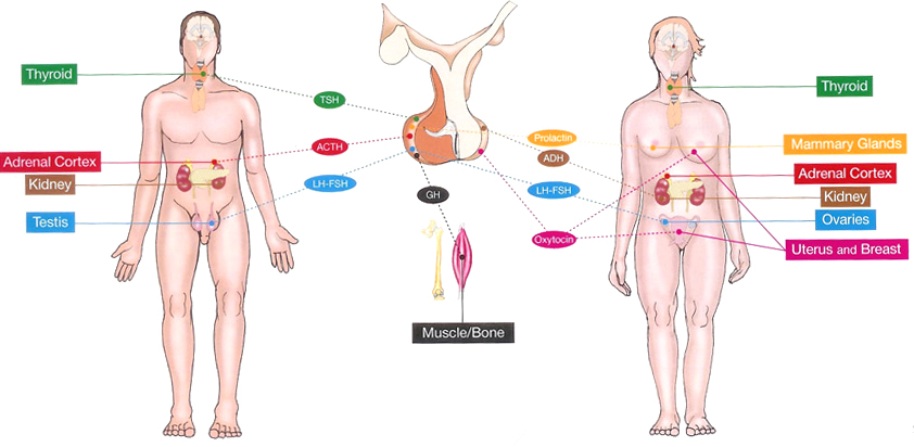 Acromegaly Anatomy